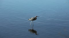 Little blue heron wading in the wetlands Stock Footage