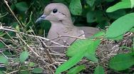 Stock Video Footage of Pigeon nesting south america - uruguay