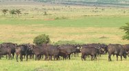Stock Video Footage of Cape buffalo