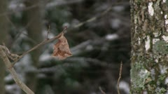 Fall leaf on tree with winter forest background Stock Footage