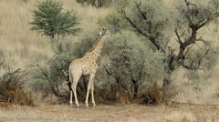Giraffe and Acacia tree Stock Footage