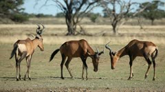 Interacting red hartebeest Stock Footage
