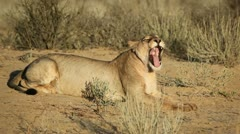 Yawning lioness, African wildlife, Kalahari desert, South Africa - stock footage