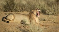 Stock Video Footage of Yawning lioness