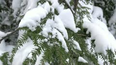 Snow on pine tree close up Stock Footage