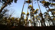 Stock Video Footage of Tall Pine tree Forest