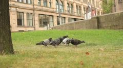 Pidgeons feeding on grass Stock Footage