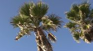 Stock Video Footage of LA-0093 PALM TREES PAN