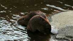 Beavers Play Stock Footage