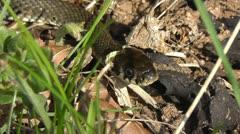 Grass Snake - Natrix natrix Stock Footage
