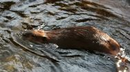 Beaver Swims Close-Up Stock Footage