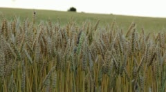 Wheat Field Soft Wind 1.mp4 Stock Footage