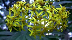 Congestion yellow flowers, all with five petals Stock Footage