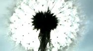 The dandelion shivers from a wind, shines from the sun Stock Footage