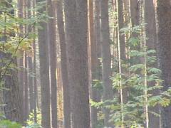 Coniferous pine tree trunks sunlighted. Natural dense forest. Stock Footage