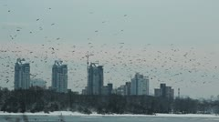 Flock of crows flying in the city. Stock Footage