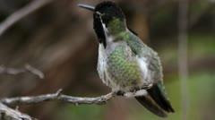 Costa's Hummingbird Purple Iridesence Stock Footage
