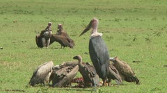 African White-Backed Vulture Stock Footage