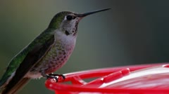 Hummingbird Swings Stock Footage