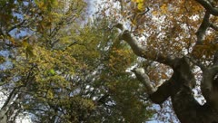 Plane trees and falling leaves Stock Footage