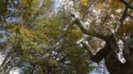 Stock Video Footage of plane trees and falling leaves