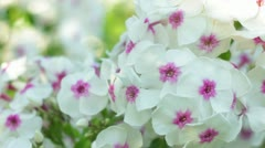 white flowers - stock footage
