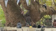 Stock Video Footage of giant plane tree and kids