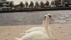Swans imitating each other Stock Footage