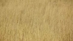 autumn grass waving in the wind - stock footage