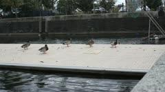 Ducks on floating walkway Stock Footage
