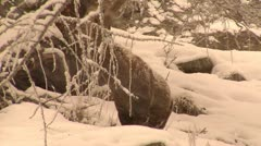 Alpine ibex adult male walking under snow fall, Gran Paradiso NP, Italy Stock Footage