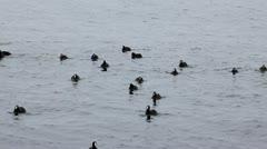 Stock Video Footage of Black duck on sea waves, Pampean dive (Netta peposaca)