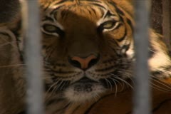 Tiger Lying in its Cage - stock footage