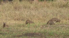 Banded mongoose Stock Footage
