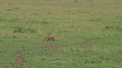 Bat-eared fox Stock Footage