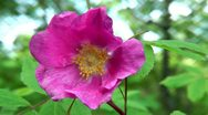 Stock Video Footage of The huge flower of a dog-rose, reminds a flower of a poppy and a rose flower