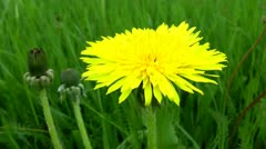 Dandelion flower on a green background by close consideration Stock Footage