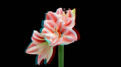Stereoscopic 3D time-lapse of opening amaryllis Superstar 1 (combo 1080p RGB) Stock Footage