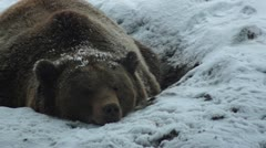 The brown bear walking in snow at forest winter Stock Footage