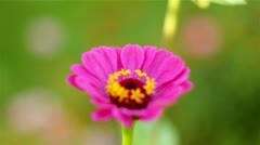 pink flower 1 - stock footage
