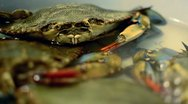 Stock Video Footage of Blue Crab Medium Shot