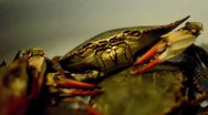 Stock Video Footage of Crab Close Up Shot