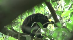 HD wild mantled howler monkey (Alouatta palliata) 1 Howling in the wild   - stock footage