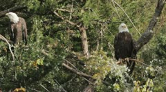 Eagle in the trees. - stock footage