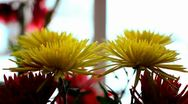 Stock Video Footage of Crysanthemum Flowers