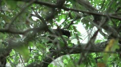 HD wild mantled howler monkey (Alouatta palliata) 4 with baby in the wild   - stock footage