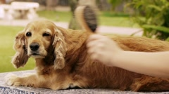Dog Being Brushed (HD) Stock Footage