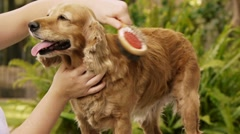 Dog Brushing Cocker Female Closer (HD) Stock Footage
