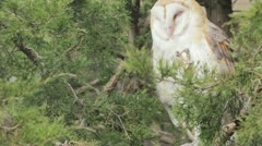 Snowy owl in the wild Stock Footage