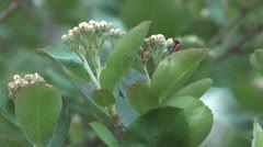 Blossoming aronia. Stock Footage
